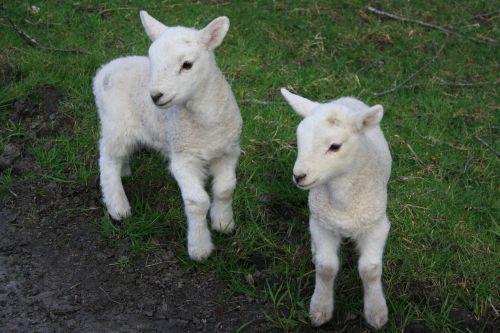 animals sheep nature
