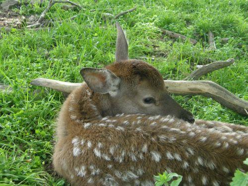animals roe deer bambi