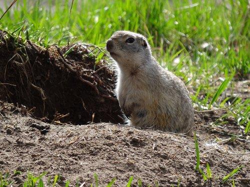 animals  nature  rodent