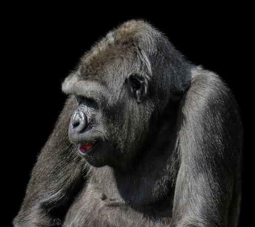 animals  monkey  gorilla