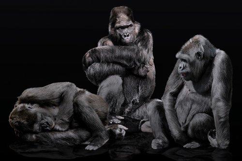 animals  ape  primate