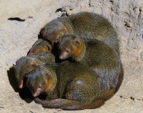 animals  animal world  mongoose
