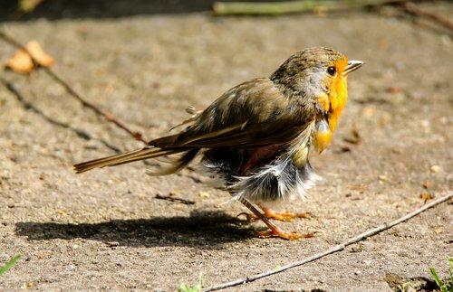 animals  bird  robin