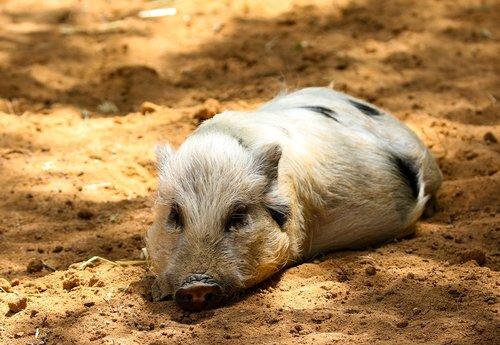 animals  pig  piglet