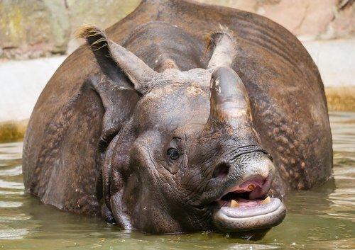 animals  rhino  indian rhinoceros
