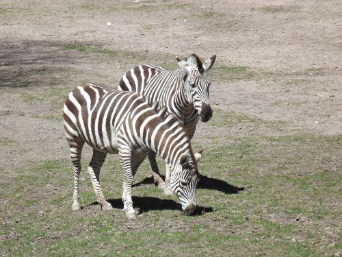 animals zebra stripes