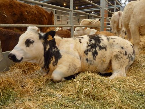 animals calf livestock