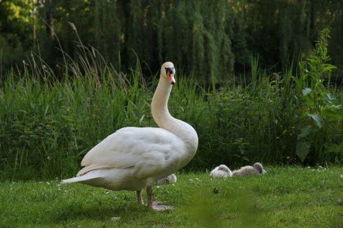 animals bird white swan with boy