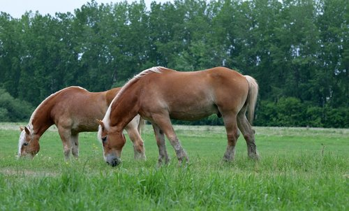 animals  draft  horses