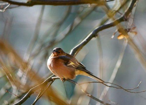 animals  bird  fink
