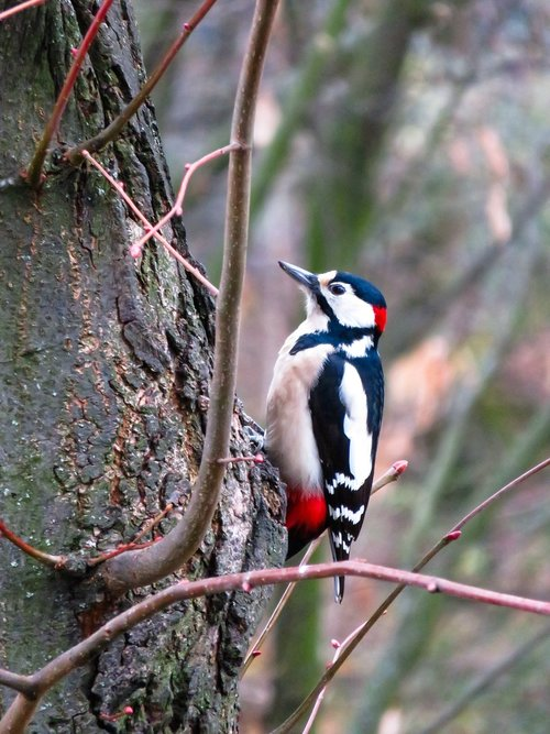 animals  bird  woodpecker