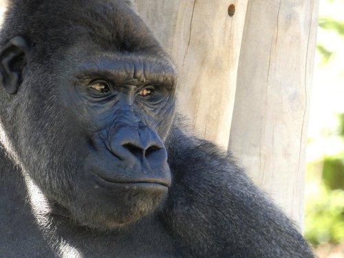 animals  gorilla  monkey