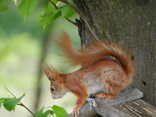 animals  squirrel  rodents