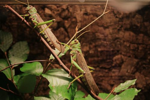 animals grasshoppers insect