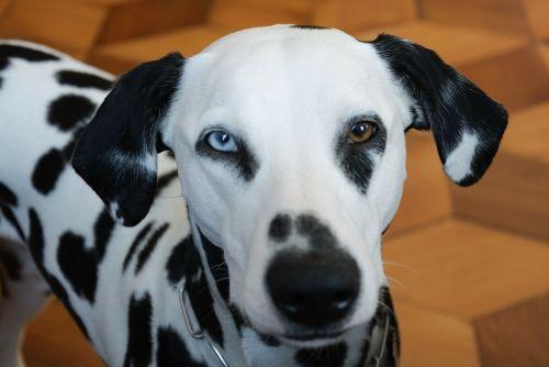 animals dog dalmatians
