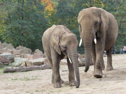 animals elephant proboscidea
