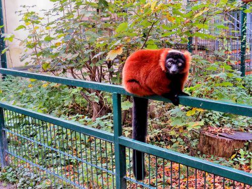 animals primates red vari