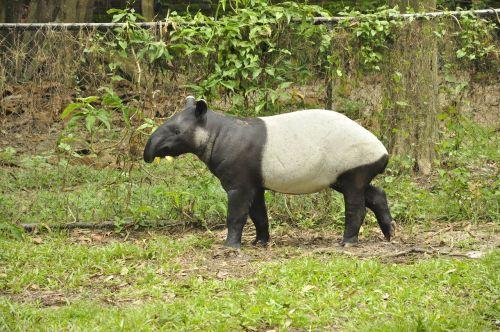 animals tapir mammal