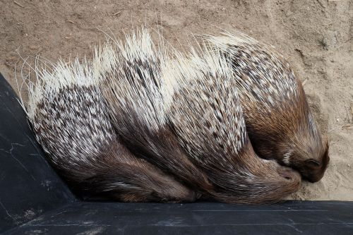 animals porcupine