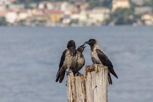 crow animals birds