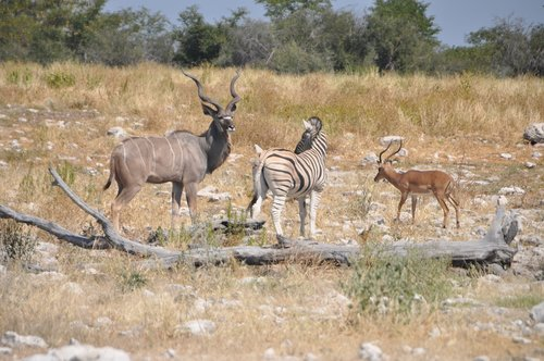 animals at water hole  zebra  kudu