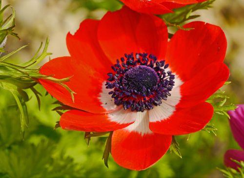 annemone blossom bloom