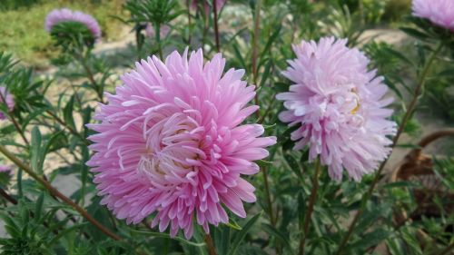 annual aster pink