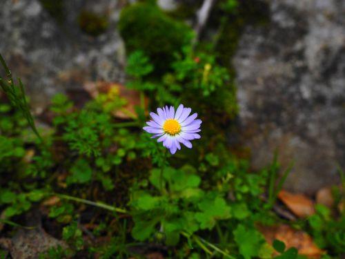 annual daisy blossom bloom