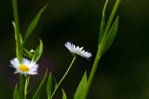 annual fleabane  erigeron annuus  asteraceae