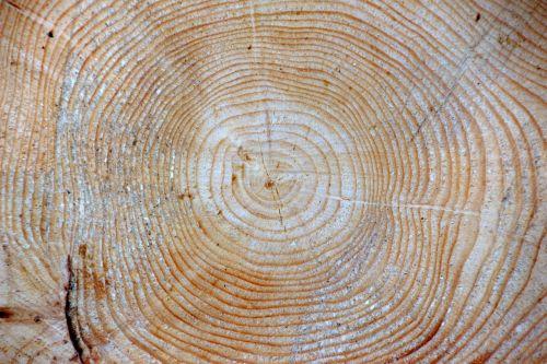 wood spruce picea abies jahresringe
