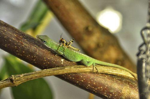 anolis carolinensis carolina anole reptile