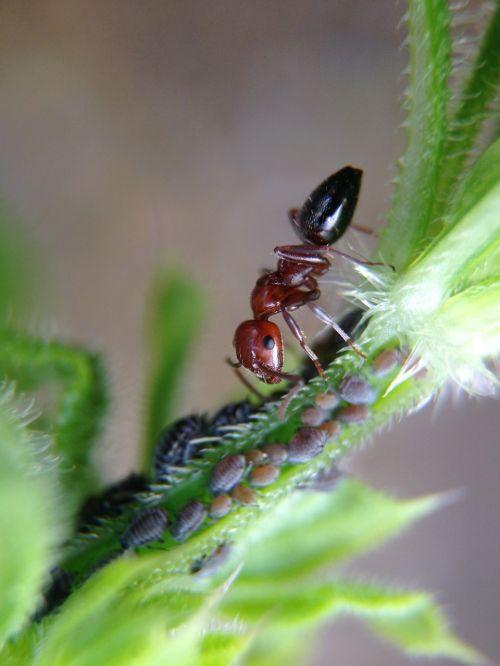 ant larvae plant