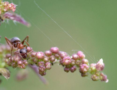 ant plant macro