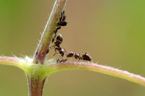 ant,makro,vabzdys,aphid,žalias,makrofotografija,vabzdžių užkrėtimo,utėlių