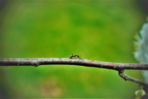 ant stick insect