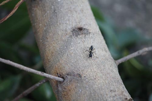 ant wood tree