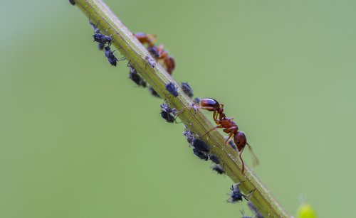 ant  red ant  louse
