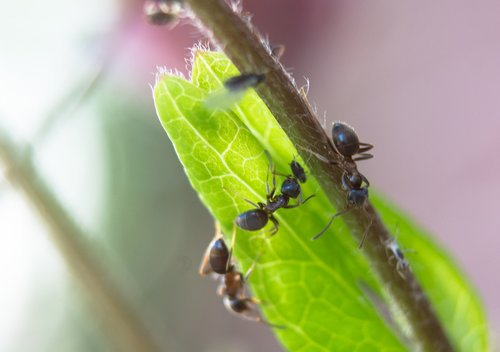 ant  aphid  aphids
