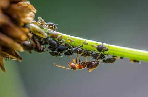 ant  blackfly  lice