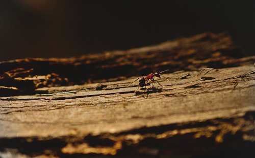 ant  wood ant  insect