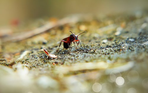 ant  red  queen