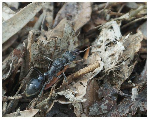 ant myrmecia myrmecia pyriformis
