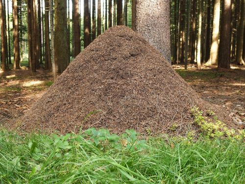 ant hill ants forest
