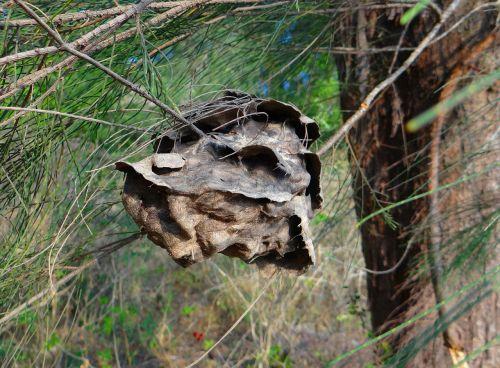 ant nest nest casuarina tree