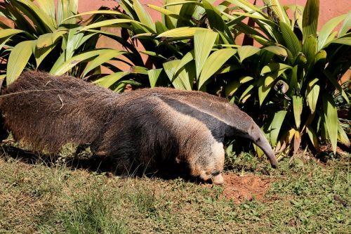 anteater flag great