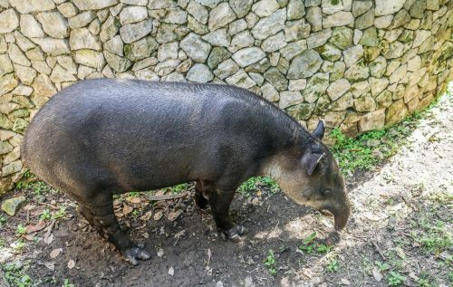 tapir animal wildlife nature