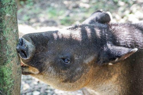 tapir face eyes