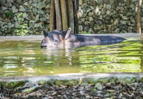 tapir snout face