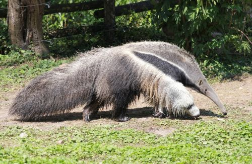 anteater fauna pilosa