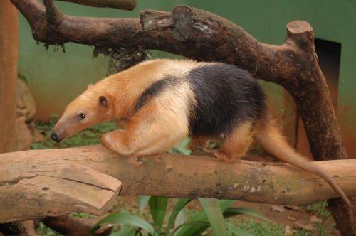 anteater animal fauna